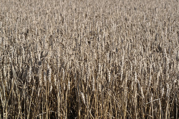 spighe mature di grano tenero in pieno campo #1