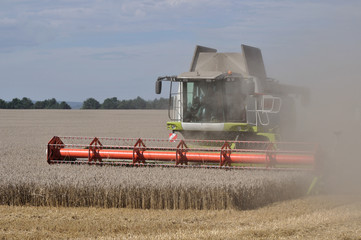 sassonia, mietitura del grano