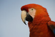 Red Macaw isolated from background