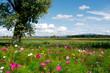 Blumenwiese mit Cosmeen