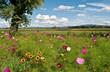 Blumenwiese mit Kokarden