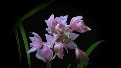 NAT-0006-Orchid-Flower-Timelaps