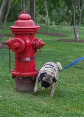pug dog urinating on a fire hydrant