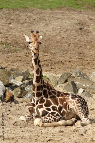 Giraffe sitting on the ground