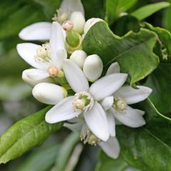 nouaison de fleurs d'oranger