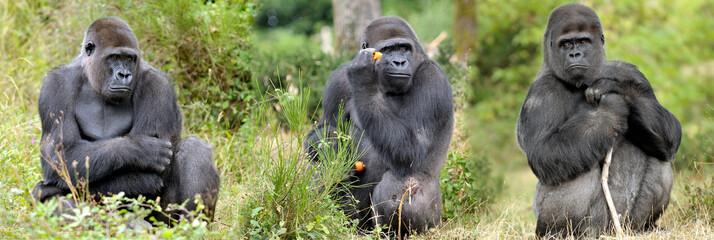 Gorilles des plaines