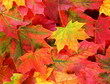 fall background colored maple leaves