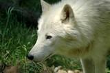Arctic wolf (Canis lupus arctos) poster