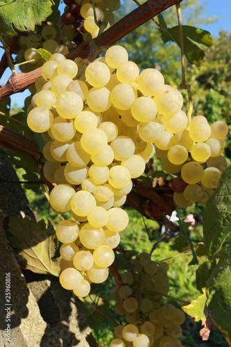 yellow grape bunch