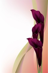 Beautiful black calla lilly