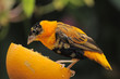 Orange Bishop Weaver Finch feeding on an orange