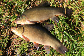 two Tench