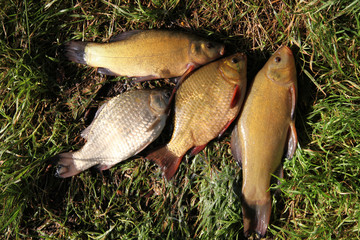 fishing time... after...  Crucian Carp and Tench