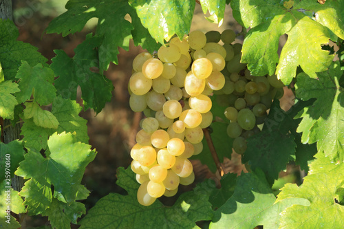 yellow grape cluster in leaves frame