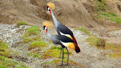 Gray crowned cranes. Serengeti National Park, Tanzania