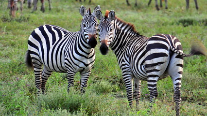 A pair of zebras. Serengeti National Park, Tanzania