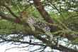 Leopard in a tree. Serengeti National Park, Tanzania