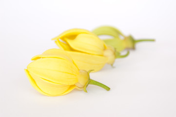 Ylang-Ylang flowers on isolate background.