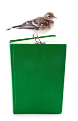 Nestling of bird (wagtail) on book