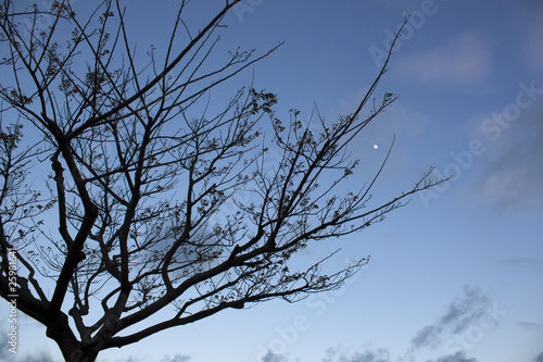 Silhouette of a tree at twilight with moon