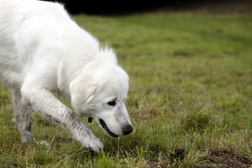 Hund sucht auf einer Spur