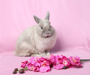 Decorative dwarfish rabbit on a pink background.