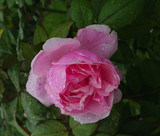 pink rose in dew drops
