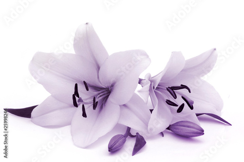 Foto op Canvas Lilac Lilies in blue toned