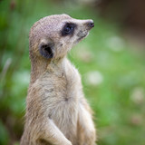 watchful meerkat standing guard