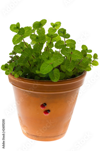 Peppermint in a flowerpot
