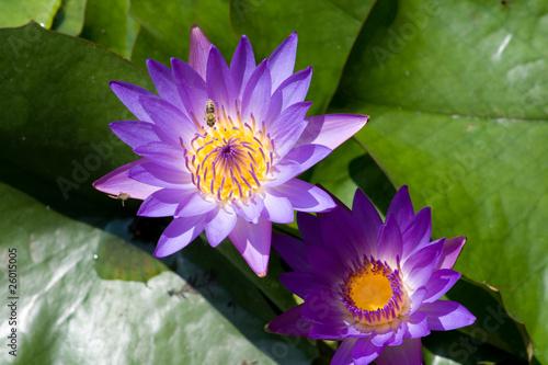 Deurstickers Lotusbloem Pinkwater lillyes