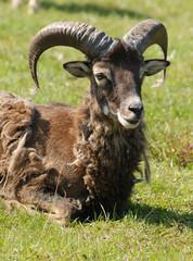 Resting male mouflon sheep, warm spring weather