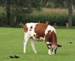 Braune Kuh auf der Weide