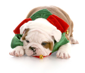 christmas puppy - seven week old english bulldog puppy