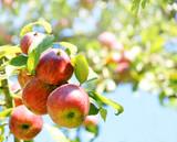 Fototapety Apple tree, Apfelbaum, reife Äpfel, Copyspace