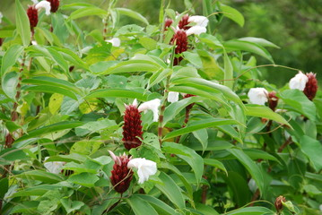 Roter Ingwer (Zingiber offcinale ) Heilpflanze