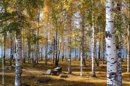 drewno-brzozy