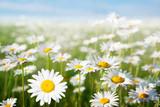 Fototapety field of daisy flowers