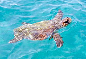 The Loggerhead Sea Turtle (Caretta caretta)