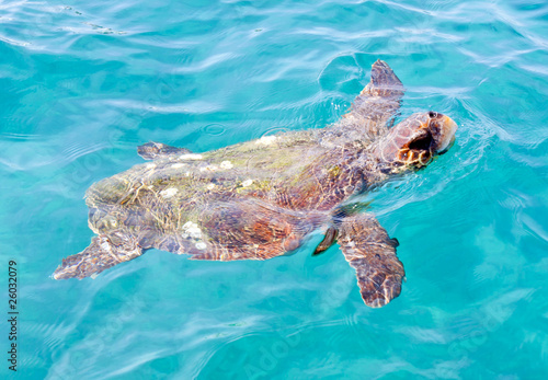 The Loggerhead Sea Turtle (Caretta caretta)
