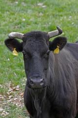 Rind auf einer Weide - Cattle on a pasture on Germany