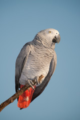 Parrot looking at the camera against the blue sky.