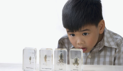 Asian boy looking at specimens of the phases of frog development