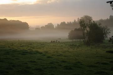 Angus-Rinder im Nebel