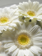 Close up of gerbera flowers