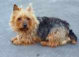 Australian Terrier Bitch