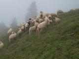 a flock of sheep in the Alpine meadow