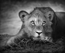 Portrait Jeune lion