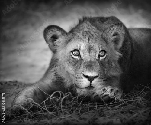 Fototapety, obrazy : Young lion portrait