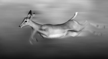 Impala running
